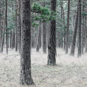 Pine Forest image